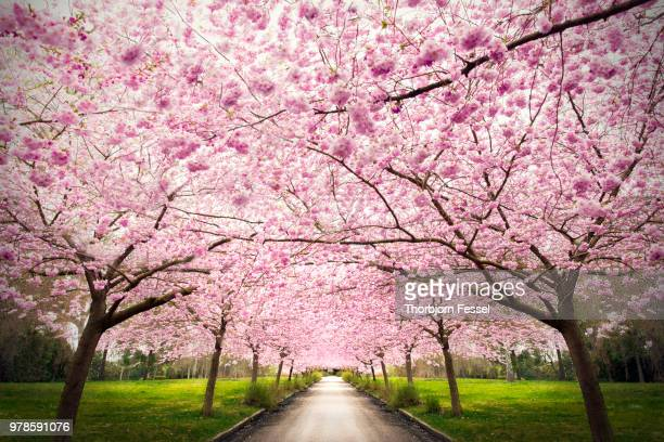 nangijala - cherry blossom stock pictures, royalty-free photos & images