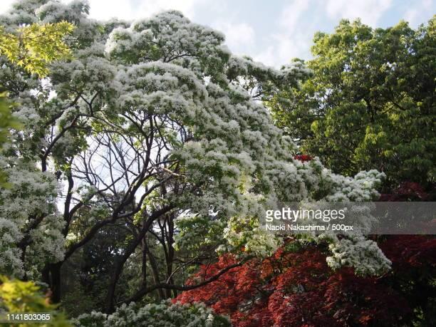 nanja monja flower, jindaiji - chofu stock pictures, royalty-free photos & images