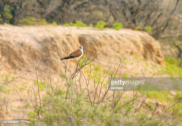 Nankeen kestrel at Pulchera cliff Ethabuka Reserve northern Simpson Desert/Channel Country southwest Queensland Australia