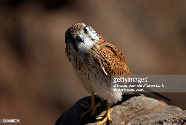 Nankeen kestrel close up on cliff