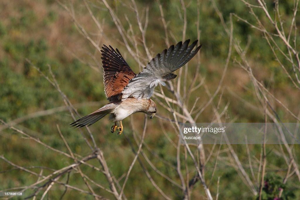 Nankeen kestrel , hovering while searching for prey