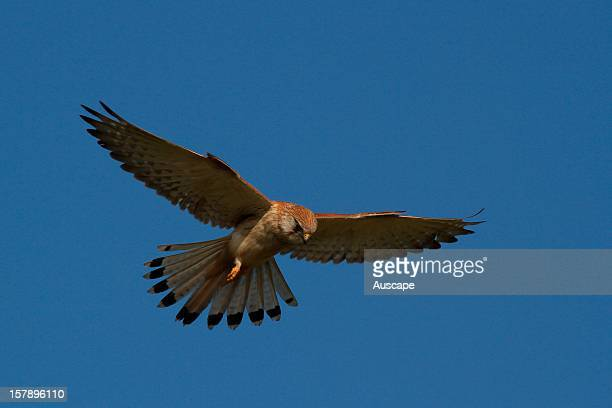 Nankeen kestrel hovering while searching for prey Australind Western Australia