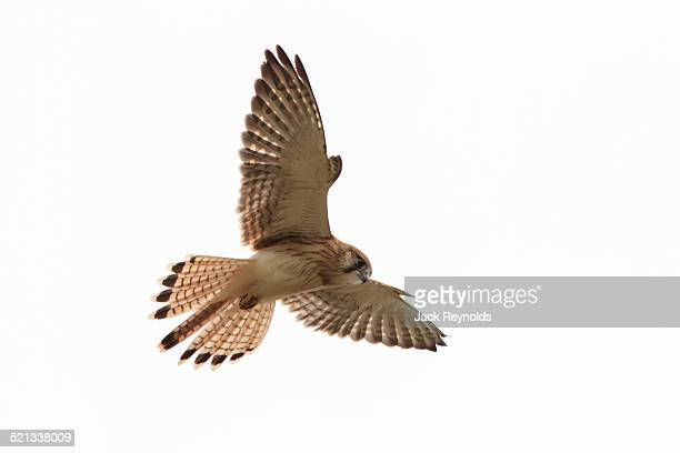 Nankeen Kestrel hunting at Long Reef