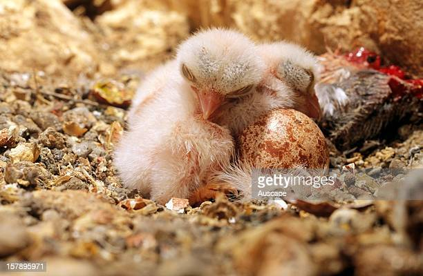 Nankeen kestrel nest with two chicks one of them dead and one egg Inside sinkhole Nullarbor Plain South Australia