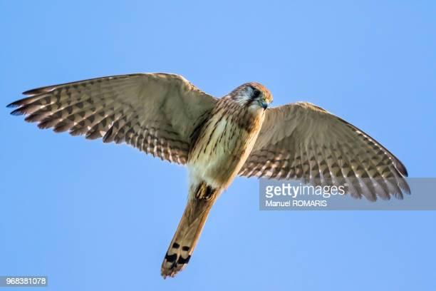 nankeen (australian) kestrel, phillip island, australia - beak stock pictures, royalty-free photos & images