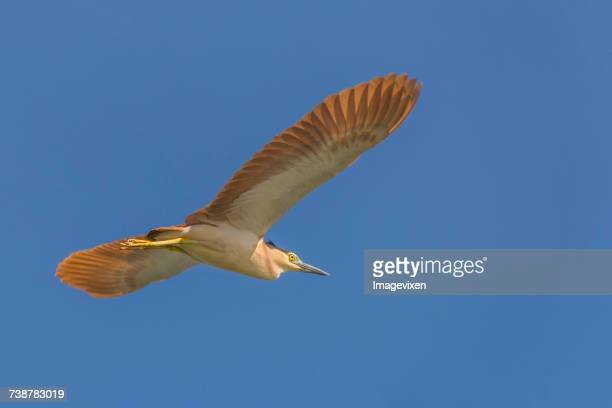 Nankeen night heron in flight, Australia