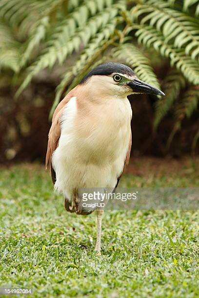Nankeen or Rufous Night Heron