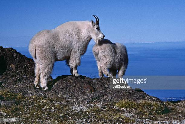 nanny goat and kid on a ridge - jeff goulden stock pictures, royalty-free photos & images
