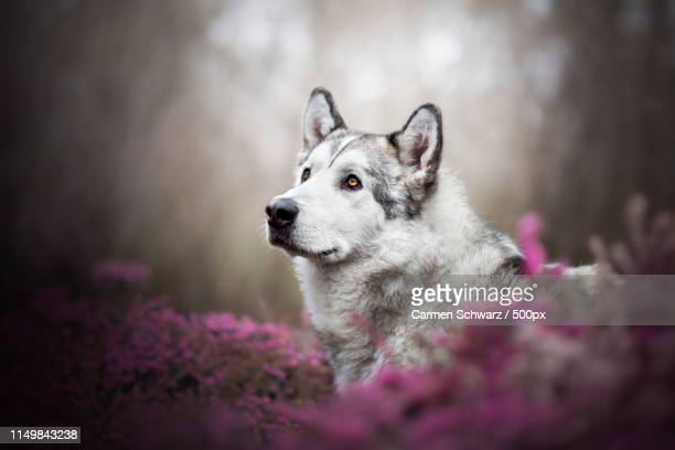 nanook - malamute stock pictures, royalty-free photos & images