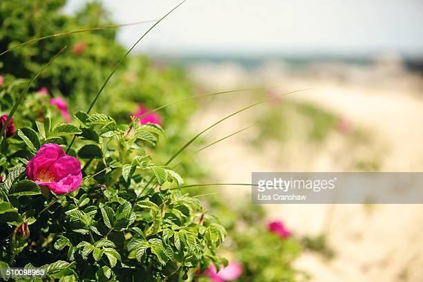 nantucket beach plum roses - lisa cranshaw stock pictures, royalty-free photos & images