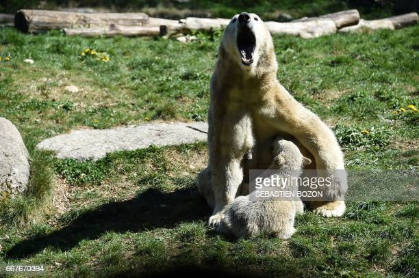 Nanuq a polar bear cub is pictured with his mother Sessi at the zoo of Mulhouse northeastern France on April 12 2017 / AFP PHOTO / Sebastien Bozon