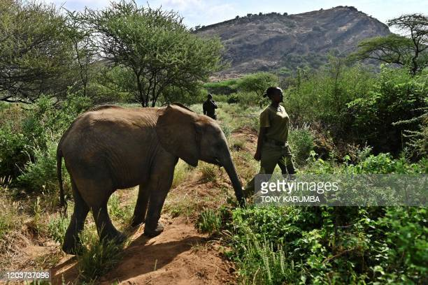 Naomi one of the women elephant keepers walks through a thicket with one of the orphan elephant calves in her care at Reteti Elephant Sanctuary in...