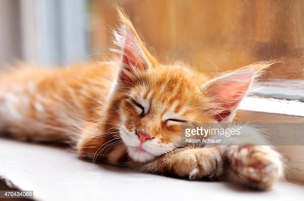 nap champion - maine coon cat stock pictures, royalty-free photos & images