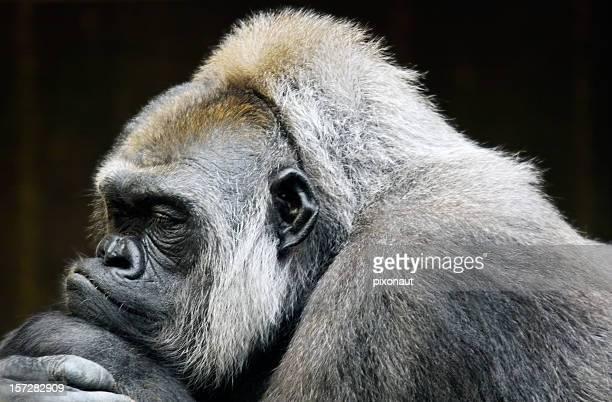 nap - gorila lomo plateado fotografías e imágenes de stock