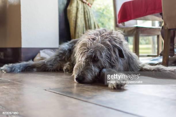 nap time - irischer wolfshund stock-fotos und bilder