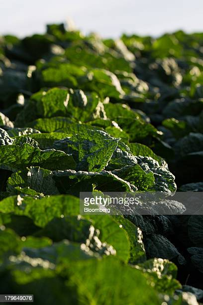 Napa cabbages grow in a field on Anbandeok Hill in Gangneung South Korea on Thursday Sept 5 2013 South Korea's second quarter gross domestic product...