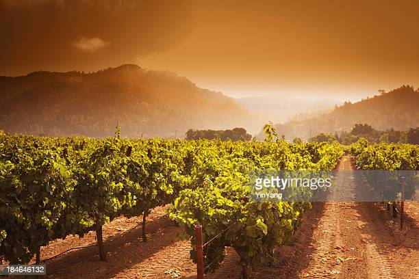 Napa Valley Winery Vineyard Grapevines Crop at Sunrise in California