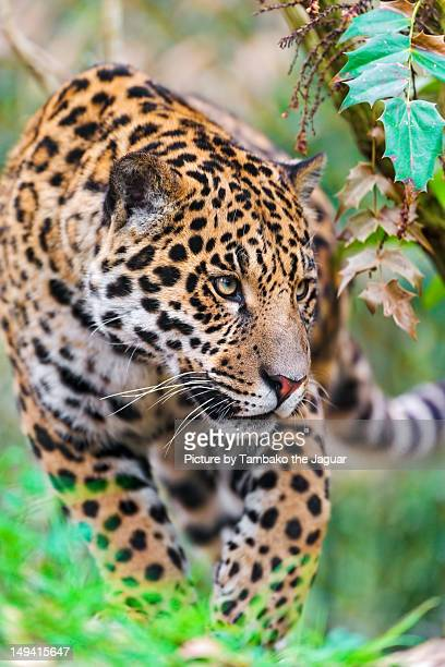 napo walking in the vegetation - jaguar stock photos and pictures