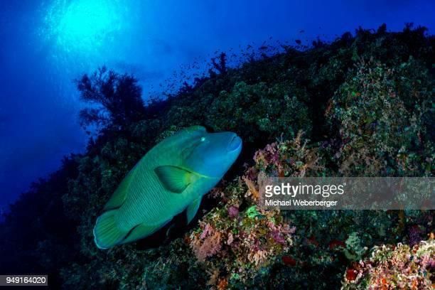 napoleon fish, humphead wrasse (cheilinus undulatus), coral reef, red sea, egypt - メガネモチノウオ ストックフォトと画像