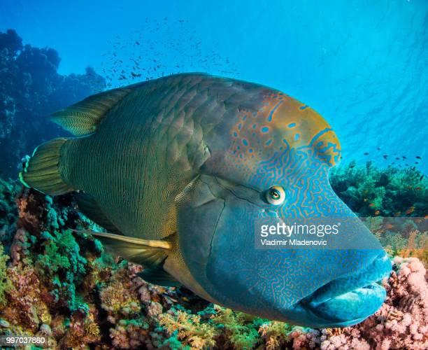ナポレオン魚メガネモチノウオ - メガネモチノウオ ストックフォトと画像