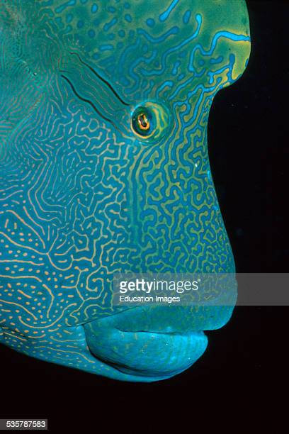 Napoleon, Hump-head wrasse, Cheilinus undulatus, portrait found in the Red Sea and across the Indian Ocean, can be over two meters long, lives at the...