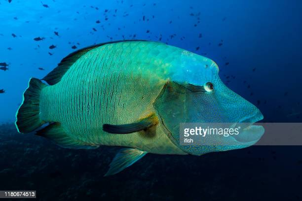 napoleon wrasse cheilinus undulatus, endangered species, blue corner, palau, micronesia - undersea stock pictures, royalty-free photos & images