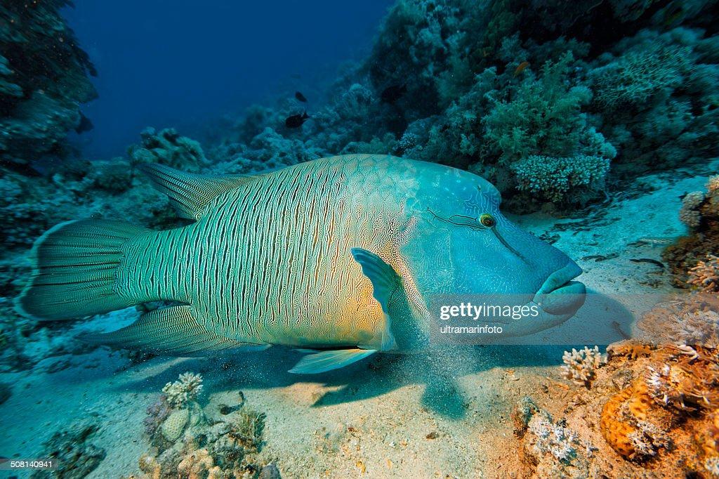 Napoleonfish : Stock Photo