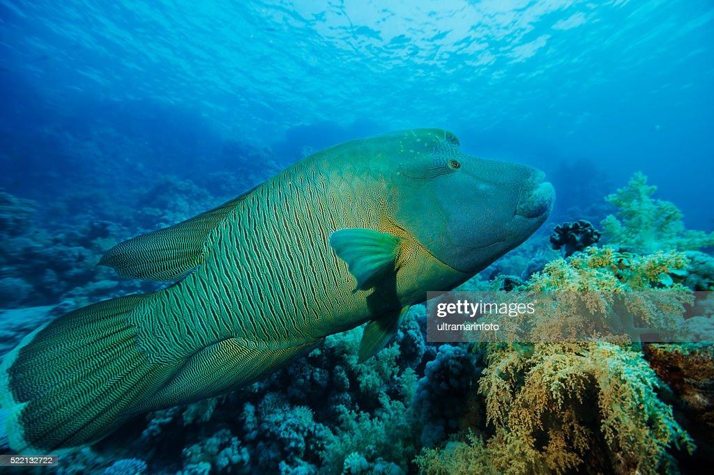 Napoleonfish   Underwater sea life    Coral reef : Stock Photo