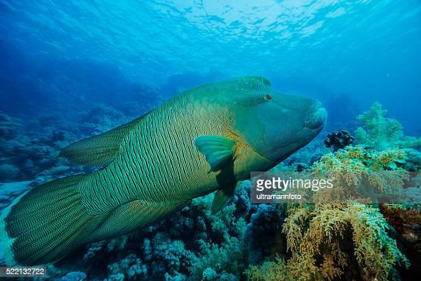 ナポレオンフィッシュ 水中の海洋生物のサンゴ礁 - メガネモチノウオ ストックフォトと画像