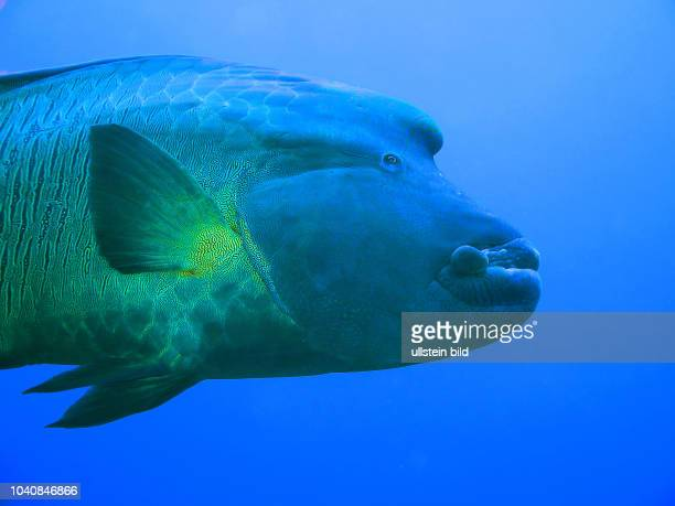 Napoleon-Lippfisch , St. Johns Riff, Rotes Meer, Aegypten