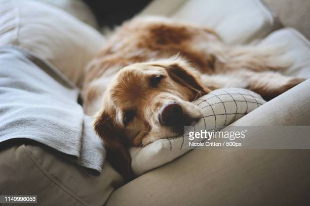 napping golden retriever - images stock pictures, royalty-free photos & images