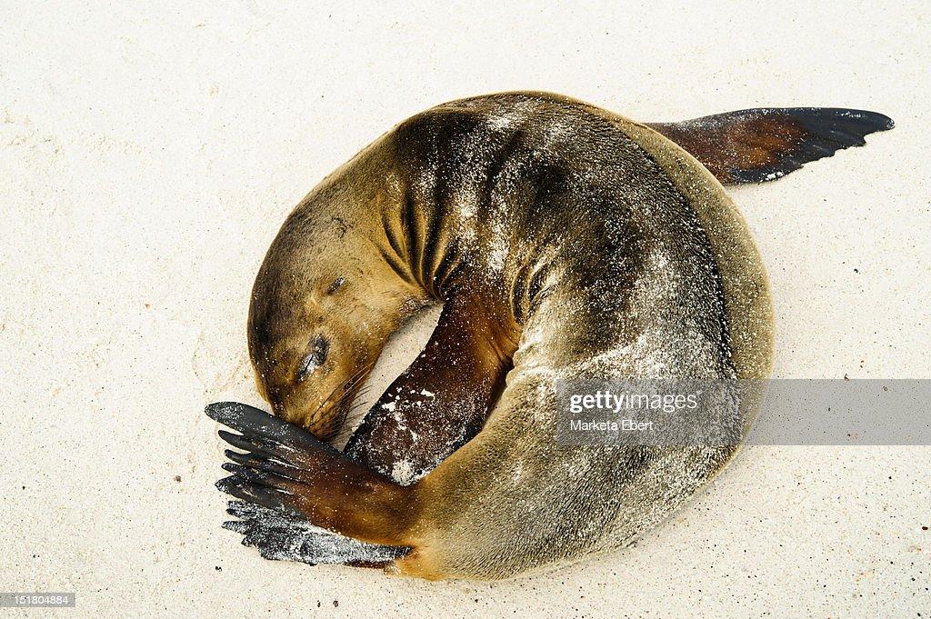 Napping sea lion : Stock Photo