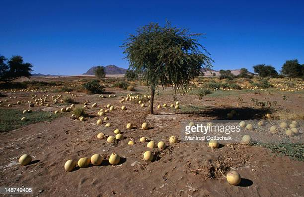 Nara melons, vegetation adapted to desert conditions, Namib-Naukluft Desert Park