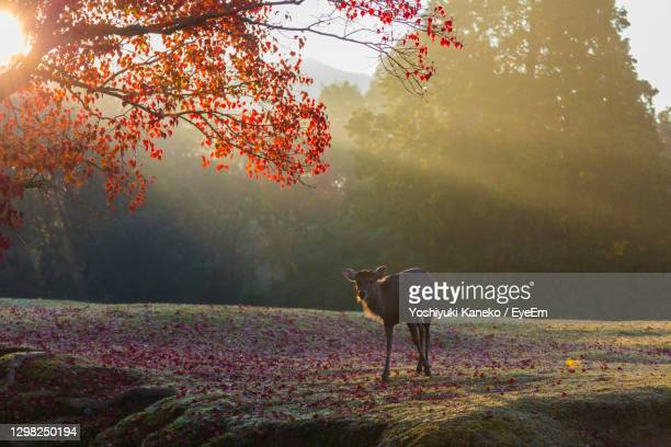 nara park and deer in the autumn colors - 奈良市 ストックフォトと画像