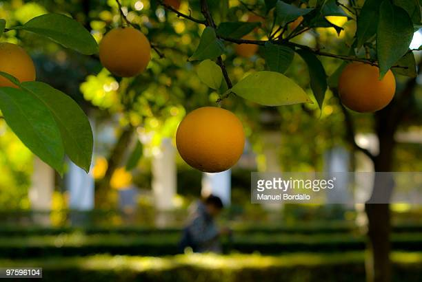 naranja sevillana - orange grove stock photos and pictures