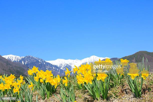 Narcissus and Central Alps in the background, Japan