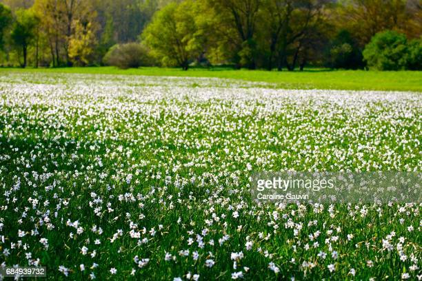 narcissus field in provence - field of daffodils stock pictures, royalty-free photos & images
