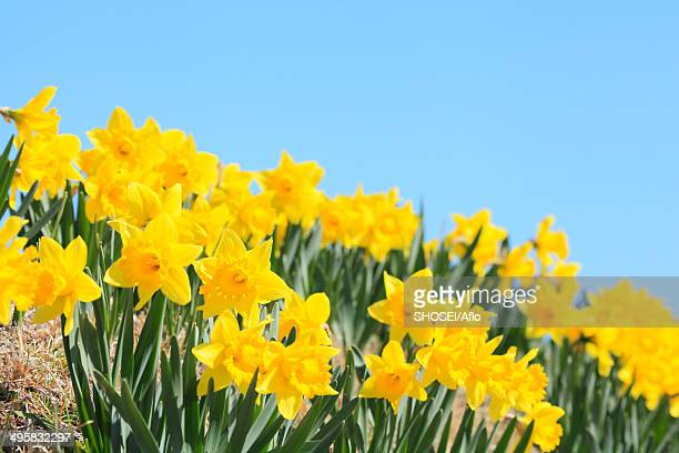 Narcissus flowers and sky, Japan