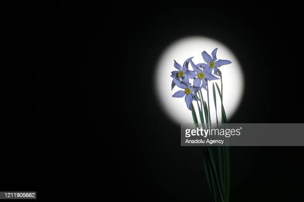 Narcissus flowers are seen with a moon in back of them at the evening hours in Edremit district of Turkey's Van on May 5 2020
