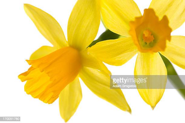 narcissus flowers - daffodils stock photos and pictures