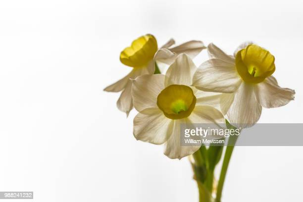 narcissus 'minnow' - william mevissen stockfoto's en -beelden