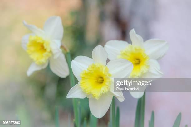 narcissus or goldmund? - petra invernizzi foto e immagini stock
