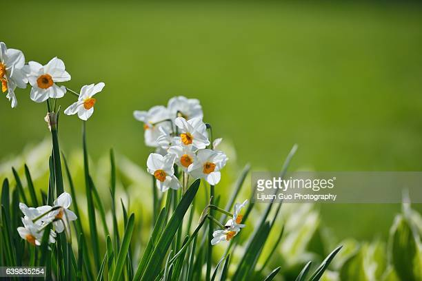 narcissus papyraceus, paperwhite flowers in spring garden - daffodils stock photos and pictures