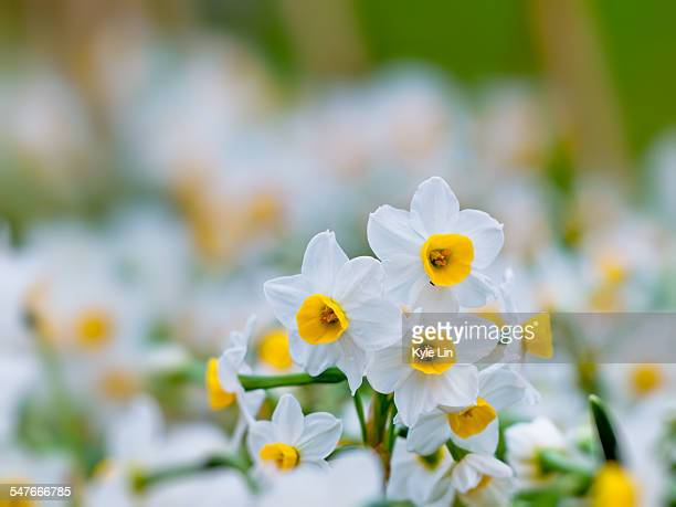 narcissus - narcissus mythological character stock photos and pictures
