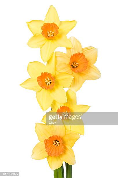 Narcissus Row