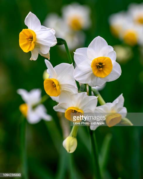 narcissus tazetta var. chinensis - narcissus mythological character stock photos and pictures