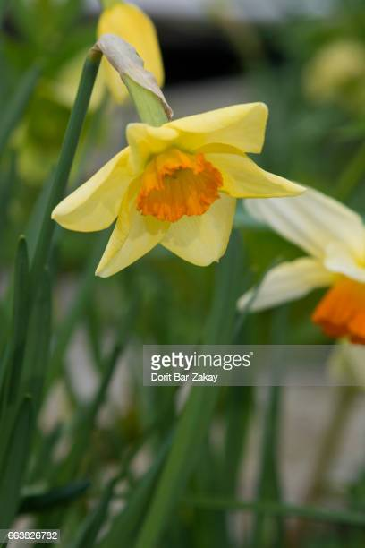 narcissus trumpet - narcissus cyclamineus 'jetfire' - narcissus mythological character stock photos and pictures