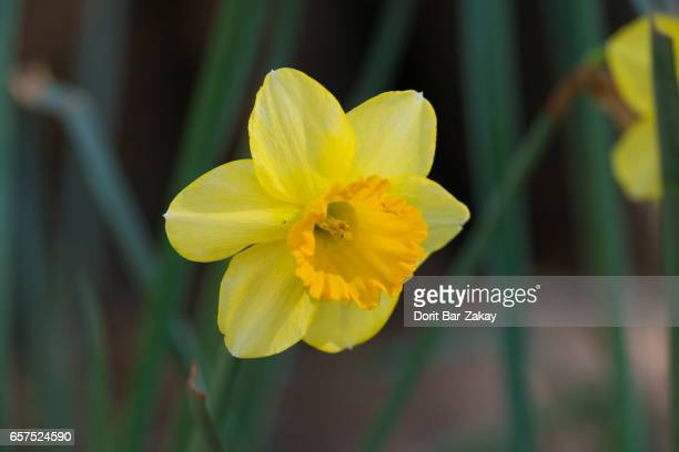 narcissus trumpet - narcissus mythological character stock photos and pictures
