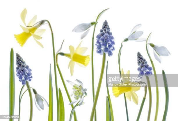 narcissus,snowdrops and muscari flowers - mandy pritty stock pictures, royalty-free photos & images
