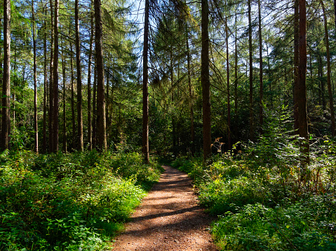 A narrow footpath borderd by dense undergrowth in a forest of fir trees 1180197797